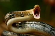 Radiated Snake Coelognathus radiatus