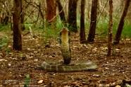 King Cobra Ophiophagus hannah