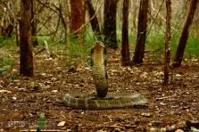 King Cobra Ophiophagus hannah