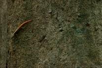Common Striped Skink Lipinia vittigera