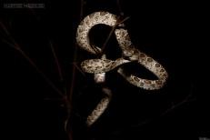 Many-spotted Cat Snake Boiga multumaculata