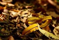 Vine Snake Ahaetulla prasina