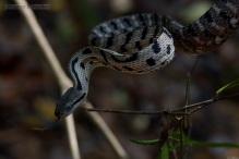 Siamese Cat Snake Boiga siamensis