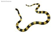 Yellow Banded Krait Bungarus fasciatus