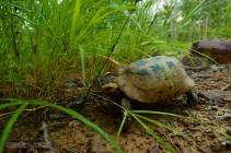 Elongated Tortoise Indotestudo elongata