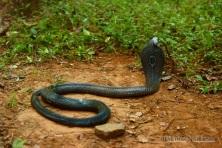 Monocled Cobra Naja kaouthia