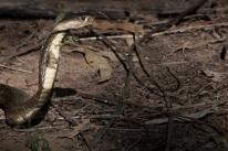 Indochinese Spitting Cobra Naja siamensis by Ben Marshall