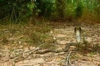Indochinese Spitting Cobra Naja siamensis