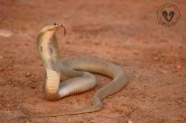 Indochinese Spitting Cobra Naja siamensis Nasi012