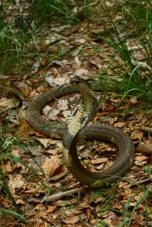 Indochinese Spitting Cobra Naja siamensis Nasi014