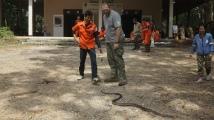 Proper size Oriental Rat Snake Ptyas mucosa. Good species for handling training.