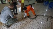 Handling Reticulated Python M. reticulatus