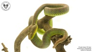 trimeresurus-phuketensis-blog-naja-1200x675